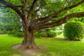 Tree with strong branches — Stock Photo