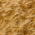 Barley field before harvest — Stock Photo #71932109