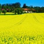 Yellow rape field in spring — Stock Photo #72126795