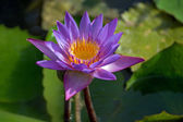 Violet Lotus flower, Nelumbo, in water — Stock Photo