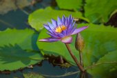 Violet Lotus flower and bud, Nelumbo, in water — Stock Photo