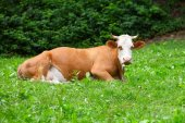 Cow lying on grass — Stock Photo