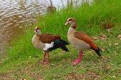 Egyptian Gooses  — Stock Photo