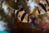 Barbus Sumatra — Foto Stock