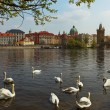 The Vltava river, Charles bridge and white swans in Prague, Czec — Stock Photo #75683739