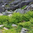 Ferns on stones — Stockfoto #59824219