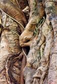Tropical banyan tree — Stock Photo
