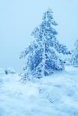 Pijnbomen vallende sneeuw — Stockfoto