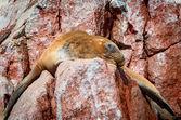 Seal  on Ballestas Islands — Stock Photo