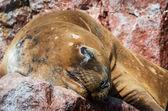 Seal on Ballestas Islands, Paracas — Stock Photo