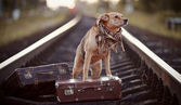 Dog on rails with suitcases. — Stock Photo