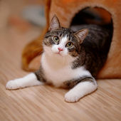 Striped with white a cat. — Stock Photo