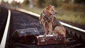 The dog sits on a suitcase on rails — Stock Photo