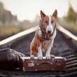 ������, ������: English bull terrier on rails with suitcases