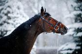 在冬天的运动马的画像. — 图库照片