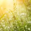 Fresh green grass with dew. — Stock Photo #64437391