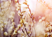 Fluffy branches of a willow — Stock Photo