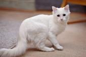 White fluffy cat. — Stock Photo