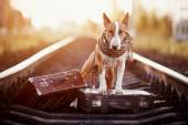 English red bull terrier on rails with suitcases. — Stock Photo