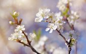 Spring blossoming of cherry. — Stock Photo