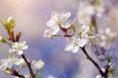 Cherry branches with flowers in sunny spring day. — Stock Photo