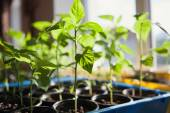 Macro of seedlings potted in peat tray — Stock Photo