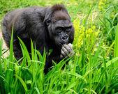 Gorilla feeding. — Stockfoto