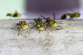 Hornet's nest with wasps — Stock Photo