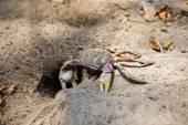 Hairy leg mountain crab — Stock Photo