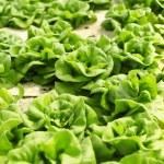 Hydroponics vegetable — Stock Photo #70166855