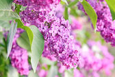 Purple lilac bush — Stock Photo