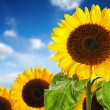 Sunflower field against blue sky — Stock Photo #53511119