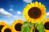 Sunflower field against blue sky — Stock Photo