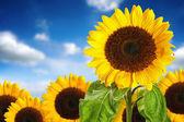 Sunflower field against blue sky — Foto de Stock