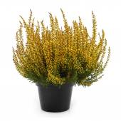 Pot of yellow heather isolated on white — Stock Photo
