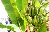 Banana tree in the jungle — Stock Photo