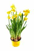 Yellow daffodil in pot isolated on white — Stock Photo