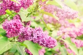 Purple lilac branch — Stock Photo