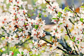 A branch of the white spring blossoms — Stock Photo