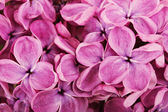 Close up of purple lilac blossoms — Stock Photo