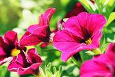 Beautiful closeup of purple petunias — Stock Photo
