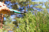 Gardener cutting a hedge with a pruning scissors — Stock Photo