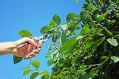 Gardener cuts a branch of plum tree — Stock Photo