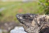 Iguana on Mexico ruins — Stock Photo