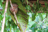 Tarsier in Cebu, Philippines- Tarsius Syrichta — Stock Photo