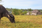 Rice field in Palawan, Philippines, with water buffalo (Carabao) — Stock Photo