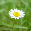 Chamomile flower over green grass — Stock Photo #52591563