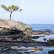 Lone Pine on the cliff — Stock Photo #68166653