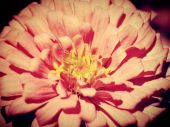 Beautiful  flower in vintage style and edit by filter images — Stock fotografie