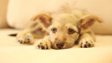 Funny domestic dog — Stock Video